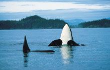Whale Watching - Best Western Campbell River Hotel