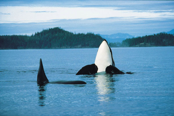 Whale Watching Best Western Campbell River Hotel